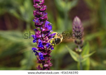 Bee on violet  and purple flower collecting pollen . Macro. - stock photo