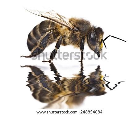 bee on white background - stock photo