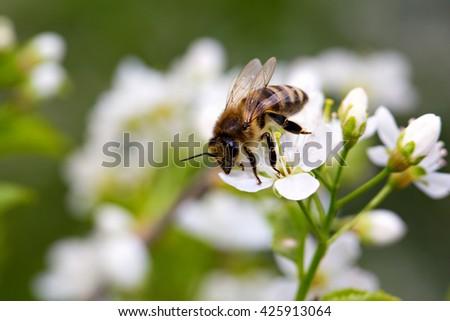 Bee on white flower collecting pollen . Macro - stock photo