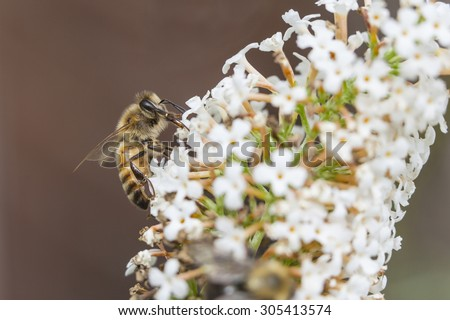 bee on white flower of Buddleja davidii White Profusion against red brown background - stock photo
