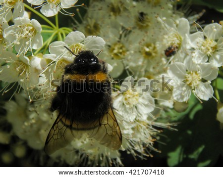 Bee on white flowers close up in a sunny day time - stock photo