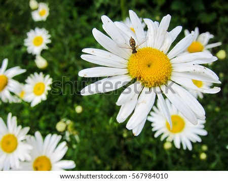 Bee on wild daisy