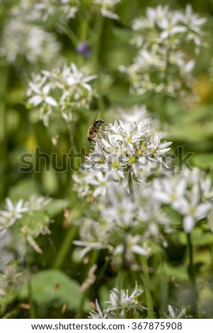 Bee on wild garlic flower in the old forest