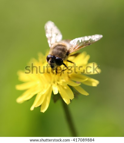 bee on yellow dandelion on nature