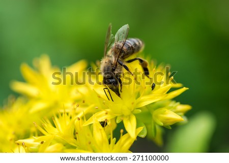 Bee on yellow flower - stock photo