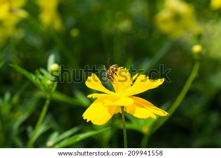 Bee on Yellow Flower, Close Up Macro - stock photo