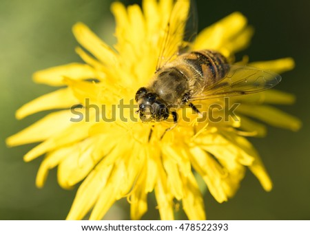bee on yellow flower, closeup