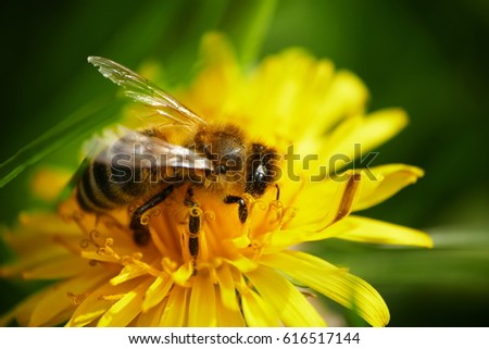 bee on yellow flower dandelion with green background