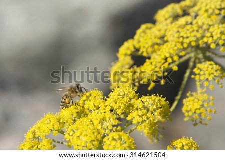 Bee on yellow flowers collecting pollen. Most crops grown for their fruits, including vegetables require pollination by insects. Bees are a primary insect for pollinating plants. - stock photo