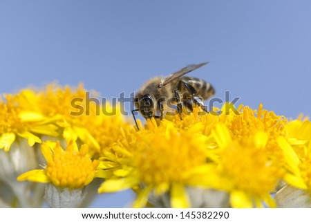 Bee on yellow flowers with blue sky - stock photo