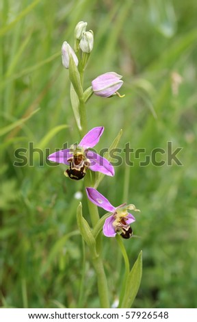 Bee orchid in a field