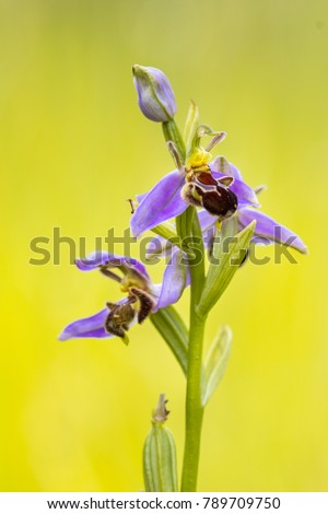 Bee orchid (Ophrys apifera) colorful pink flowers mimicing humblebee insects to polinate the flower. On blurred green background