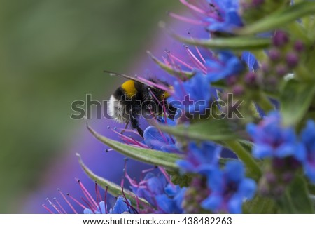 Bee polinating Pride of Madeira flowers