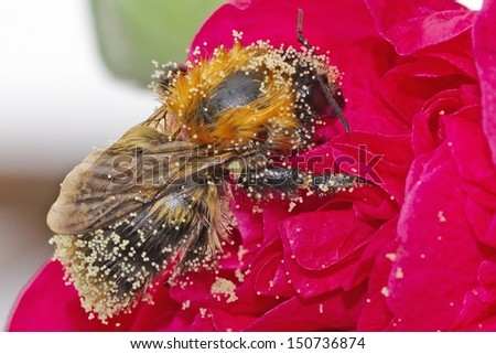 Bee & Pollen - stock photo