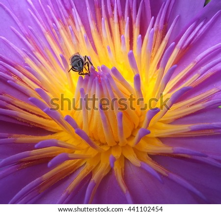 Bee pollen for nectar on purple lotus. - stock photo