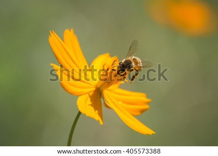 Bee pollen is looking at the center of the flower. - stock photo