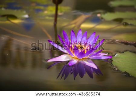 Bee pollen lotus suck - stock photo