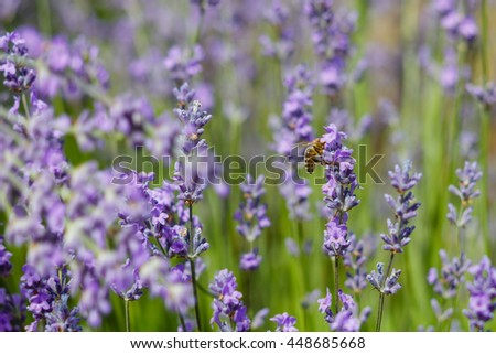 Bee pollinate flowering lavender sunny day