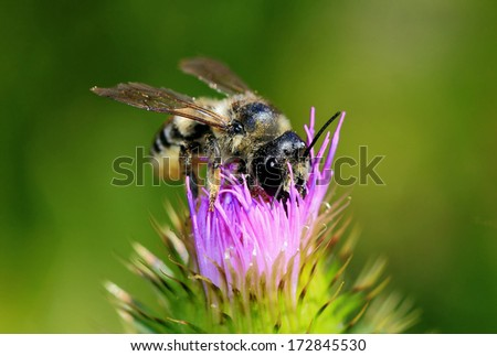 bee pollinating - stock photo