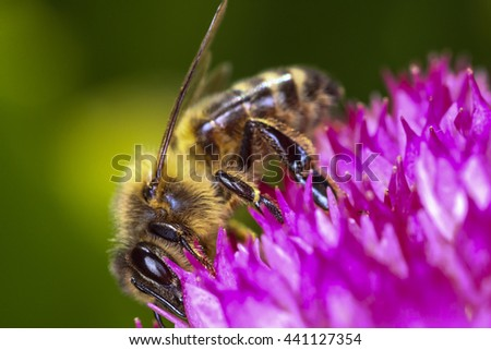 Bee pollinating a stone crop flower