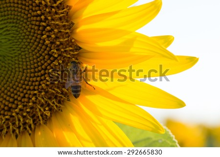 bee pollinating a sunflower - stock photo