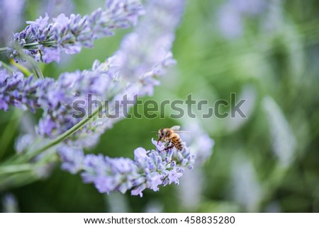 Bee pollinating lavender, blurred and tonned close up macro - stock photo