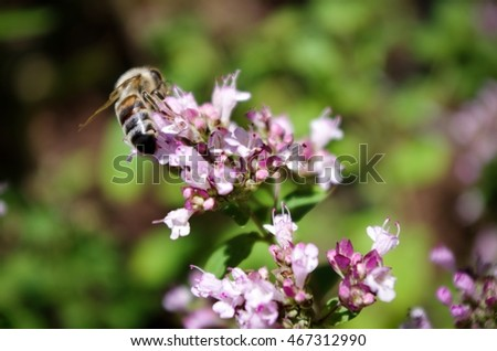 Bee pollinating purple flowers, Comox Valley, British Columbia, Canada