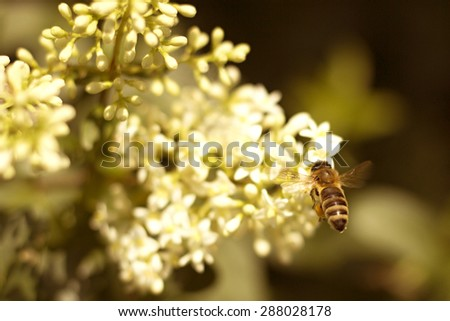 bee pollinating white flower in the garden - stock photo
