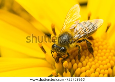 bee pollinating yellow flower - Anthophila