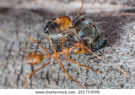 Bee, Red Ant Prey - stock photo