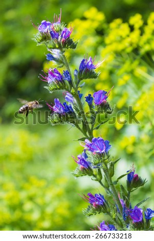 bee sitting on a blue colors and collects flower nectar in the meadow on a sunny day - stock photo