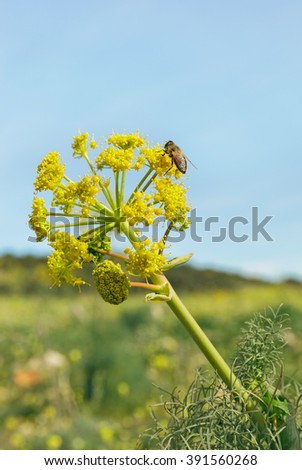 Bee sitting on a flowering fennel - stock photo
