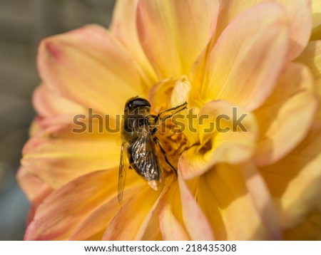 Bee sitting on a yellow Dahlia Flower