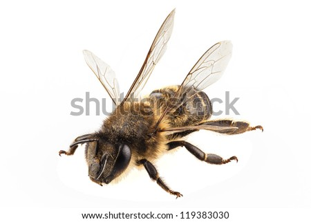 Bee species apis mellifera common name Western honey bee or European honey bee isolated on white background - stock photo