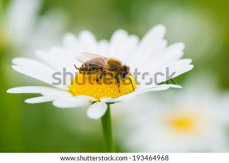 Bee sucking nectar from daisy flower - stock photo