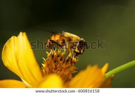 Bee sucking nectar  in a flower
