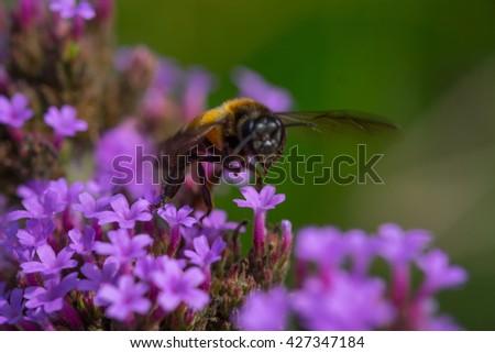 Bee sucking nectar on the flowers - stock photo