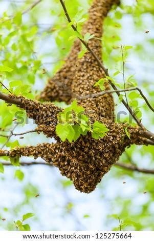 Bee swarm - stock photo