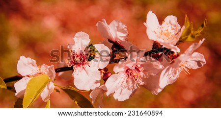 bee toward cherry blossoms in bloom  - stock photo