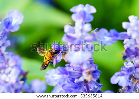 Bee with purple salvia flower close up