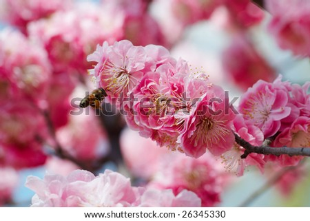 bee working in Peach flowers - stock photo