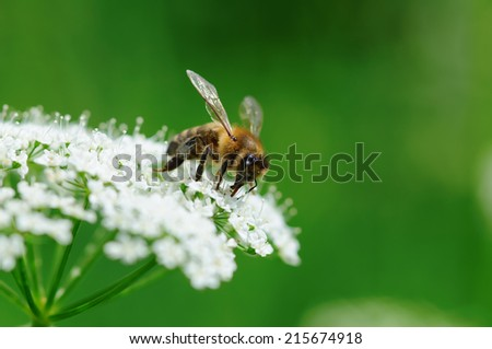 Bee working on flower. Closeup with selective focus and shallow DOF. - stock photo