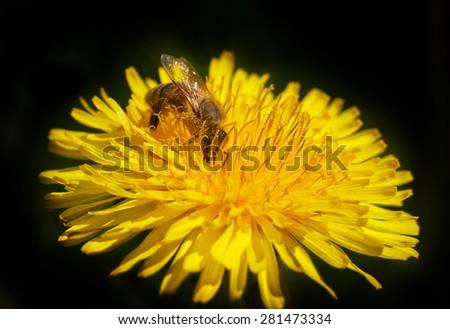 Bee working on the yellow dandelion. - stock photo