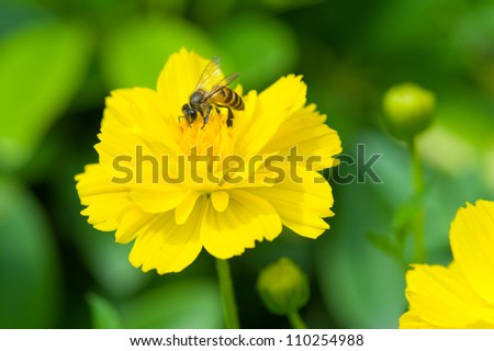 Bee working on yellow dandelion. - stock photo