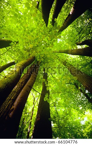Beech canopy - stock photo