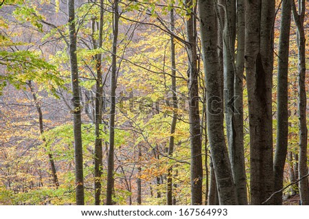 Beech forest in autumn, Montseny Natural Park, Barcelona