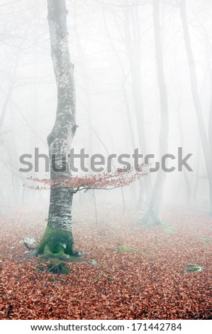beech forest in autumn with mist and red leaves - stock photo