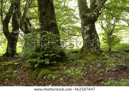 Beech forest in Basque Country, Spain