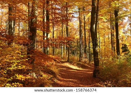Beech forest in red and orange colors of the autumn season. - stock photo