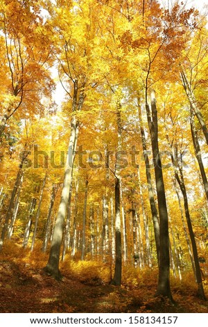 Beech forest in the golden colors of autumn.